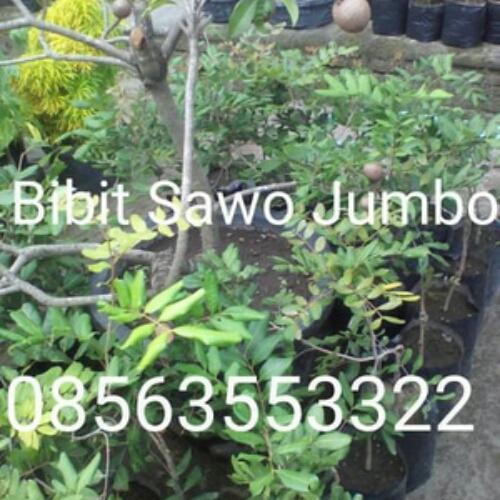 Bibit buah sawo jumbo siap kirim seluruh indonesia. Harga bibit berfariasi mulai dari 75.000- 130.000 dan bibit sudah berbuah/hasil cangkok/setek