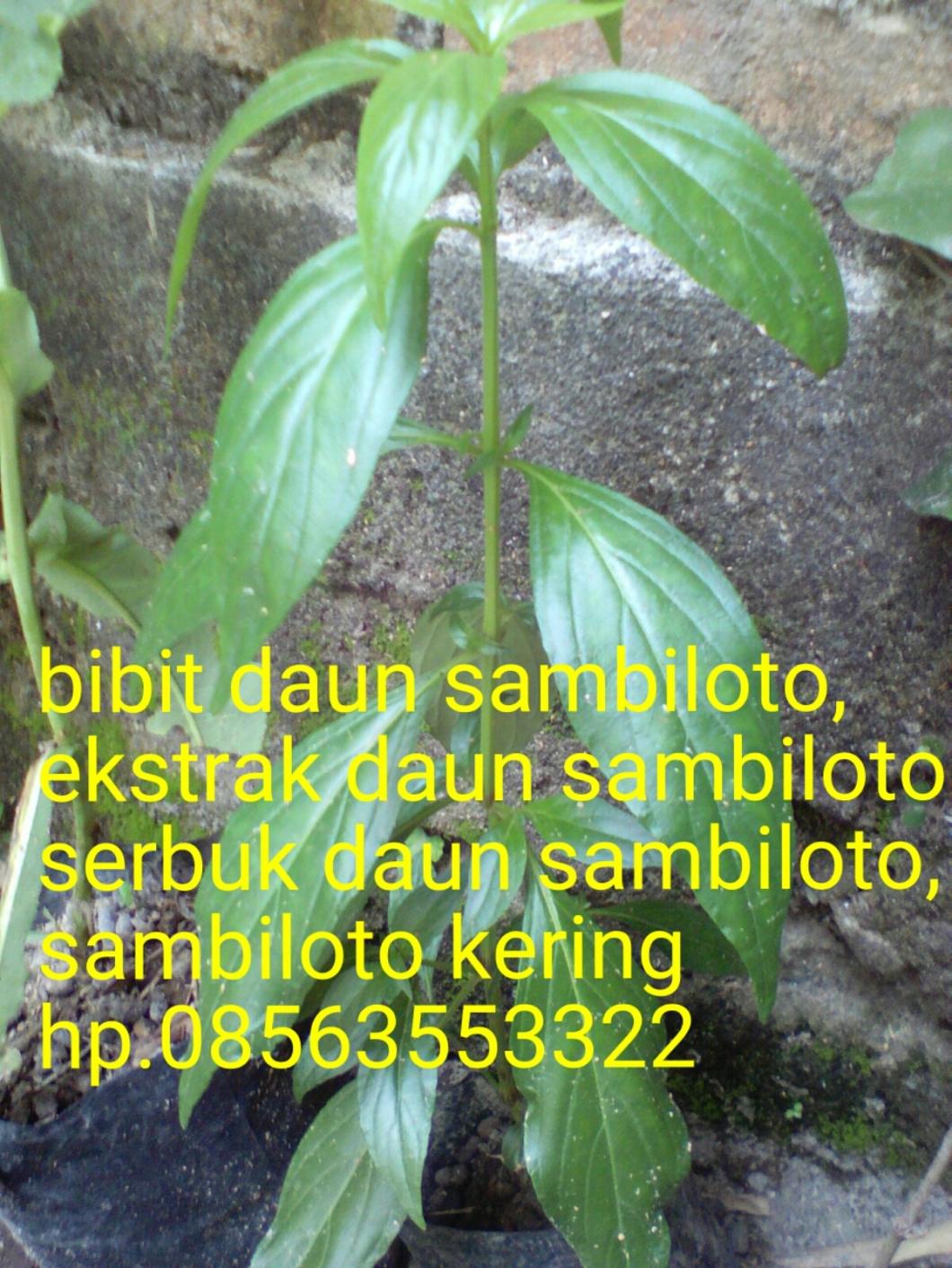 Sambiloto