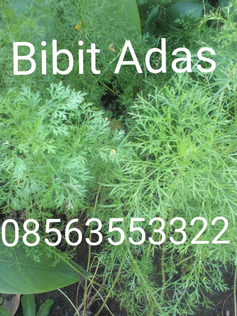 Bibit adas