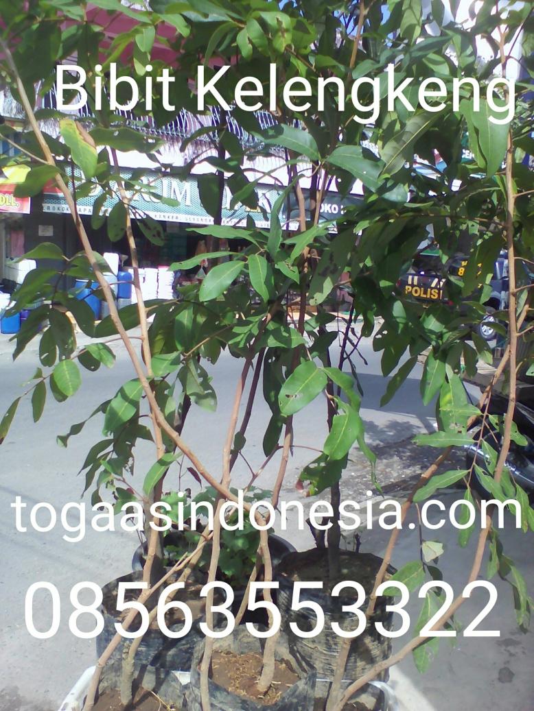 Bibit buah kelengkeng siap kirim seluruh Indonesia