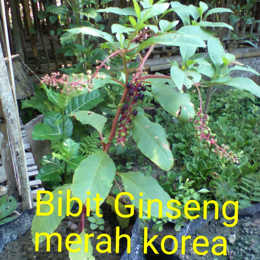 Bibit ginseng korea