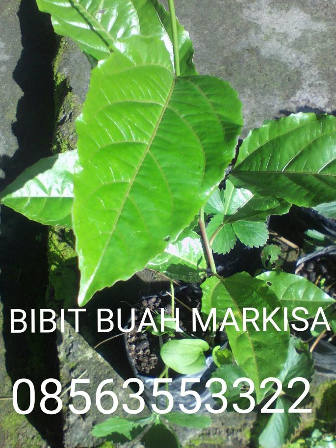 Bibit buah markisa ungu Rp. 15.000/bibit