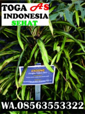 Jual bibit andong WA, 08563553322. Dapatkan produk lainnya di aplikasi  toga as indonesia sehat