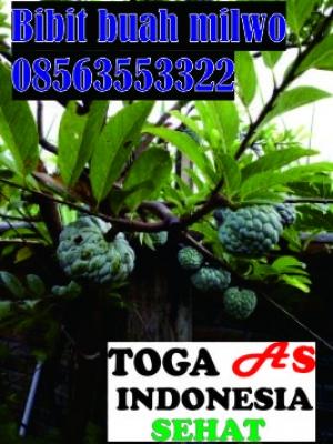 Jual bibit buag milwo,  psan skarang juga WA. 08563553322 atau dapatkan produk kami di aplikasi  Toga as indonesia sehat