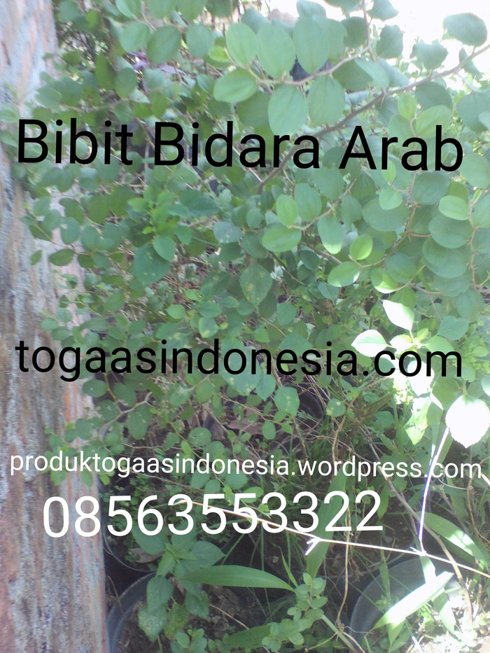 Juga jual daun bidara Arab Segar WA. 08563553322