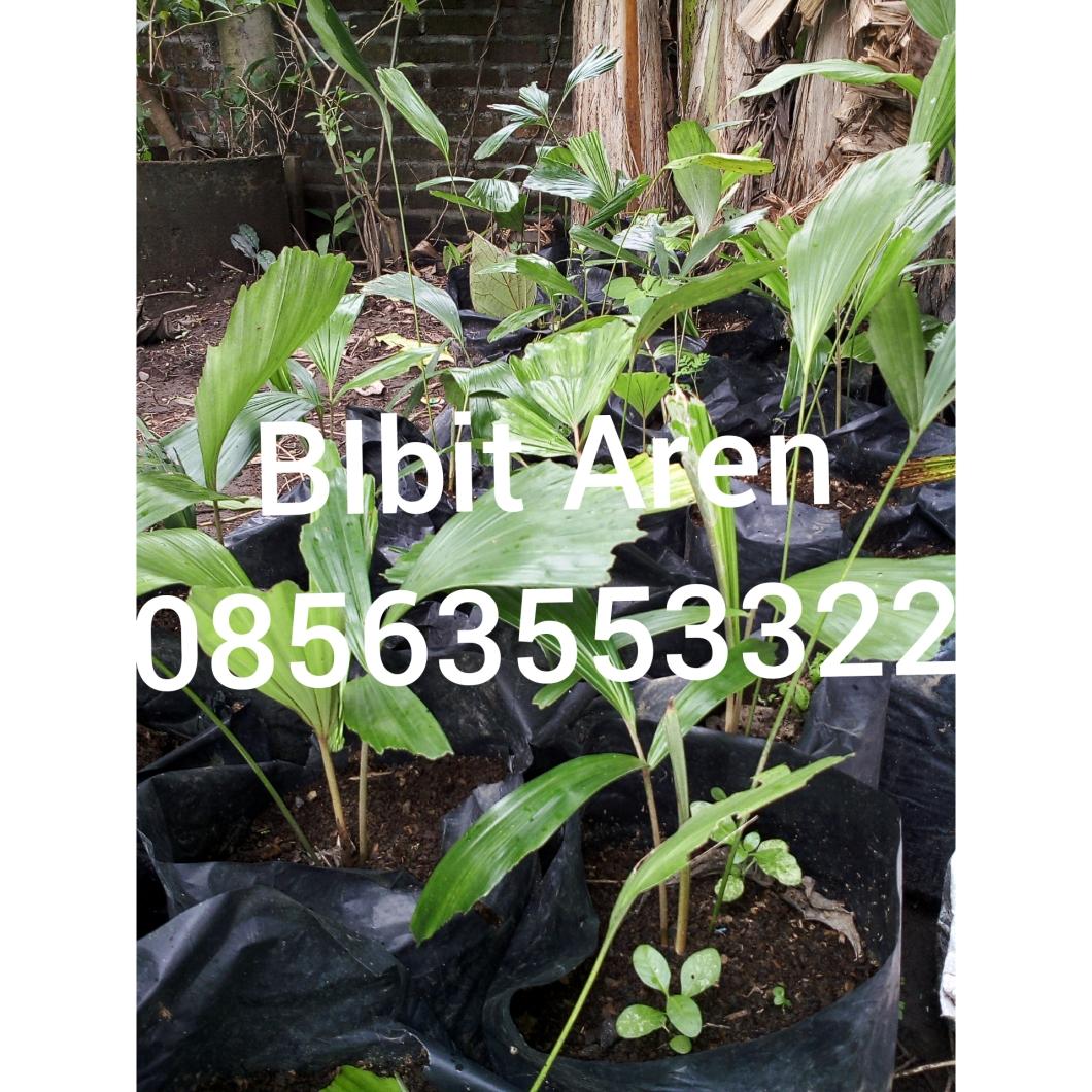 Jual bibit aren, anda bisa psan. Hp.08563553322  atau dapatkan di Aplikasi Toga As Indonesia Sehat