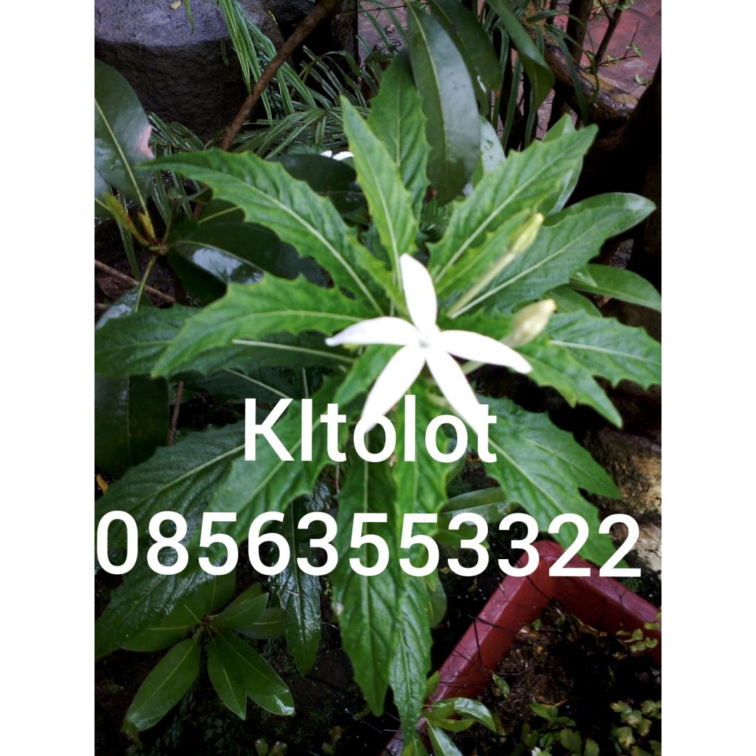 Manfaat daun kitolot mengobati katarak. Juga jual daun segar kitolot maupun bibitnya. Hp.08563553322