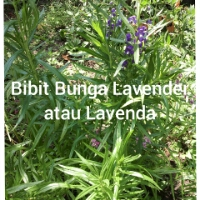 Jual,bibit,tanaman,hias,bunga,lavender
