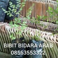 Bibit,daun,bidara,arab
